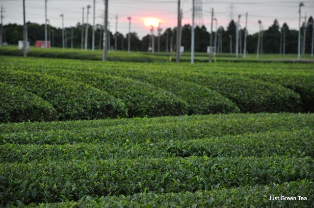 Sunset at the tea farm